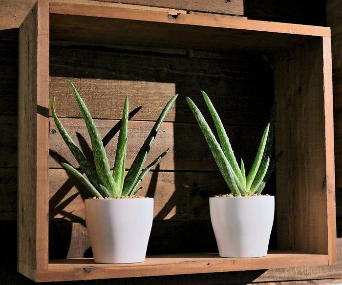 Aloe Vera Succulent House Plant