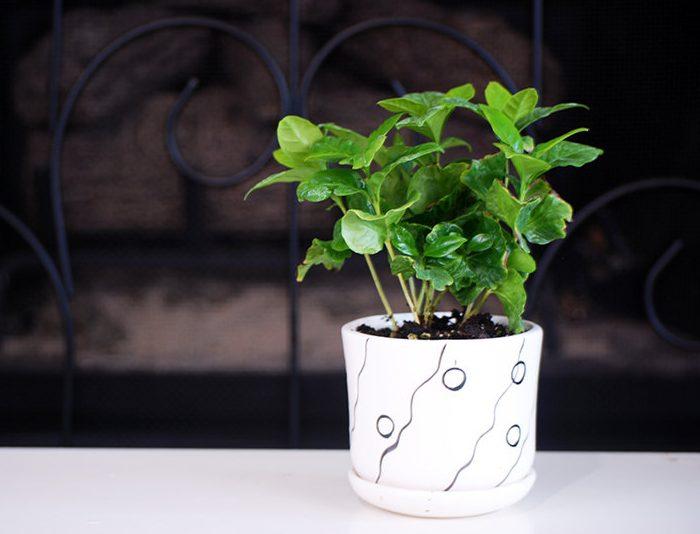 Arabica Coffee House Plant