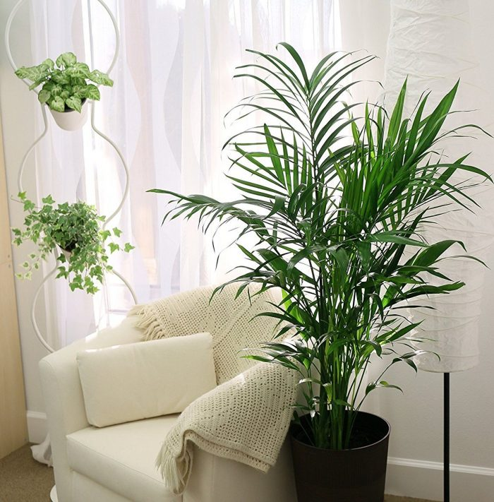 Attractive Cat Palm House Plant