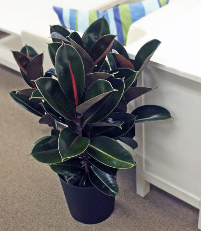 Burgundy Rubber House Plant