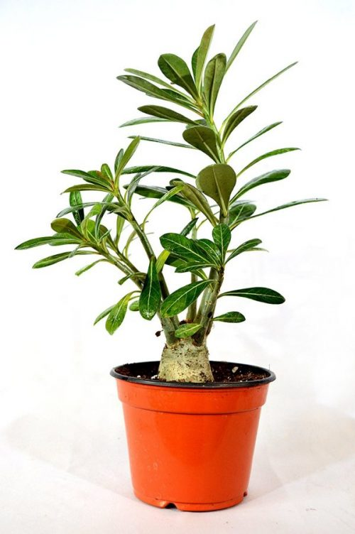 Desert Rose Bonsai House Plant