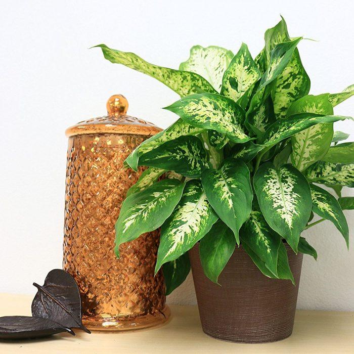 pleasurable low maintenance house plants. Dieffenbachia Exotica House Plant 25 Best Low Maintenance Plants  Home Designing