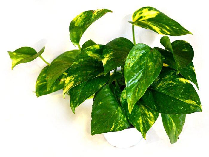 Epipremnum Aureum House Plant