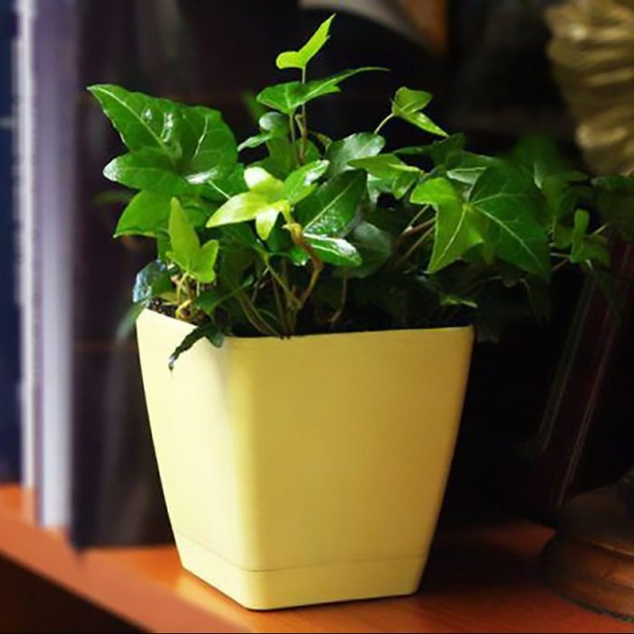 Hedera Ivy House Plant
