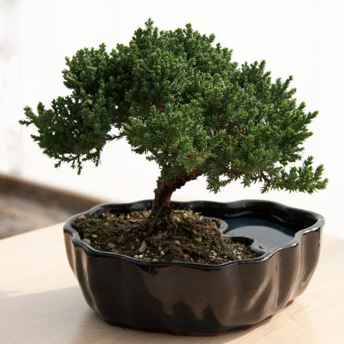Juniper Bonsai House Plant