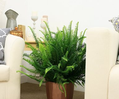 Kimberly Queen Fern House Plant