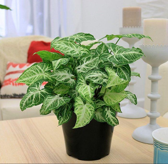 Nephthytis Arrowhead House Plant