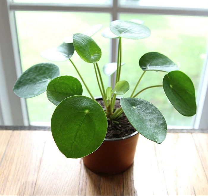 Pilea Peperomioides House Plant
