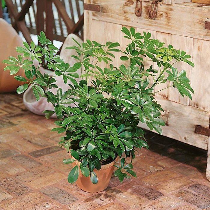 Schefflera Capella Bush House Plant