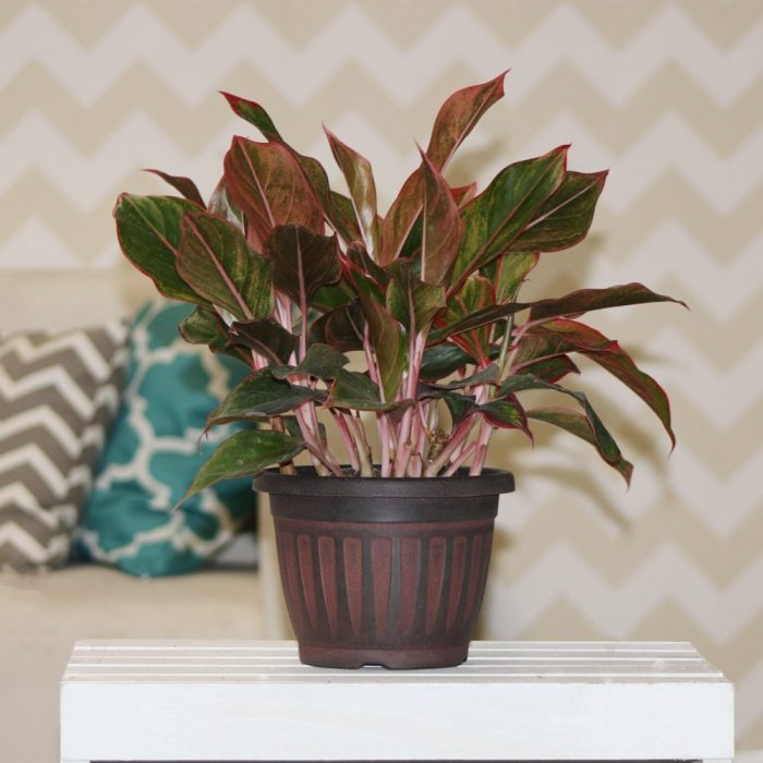 Siam Aglaonema Chinese House Plant