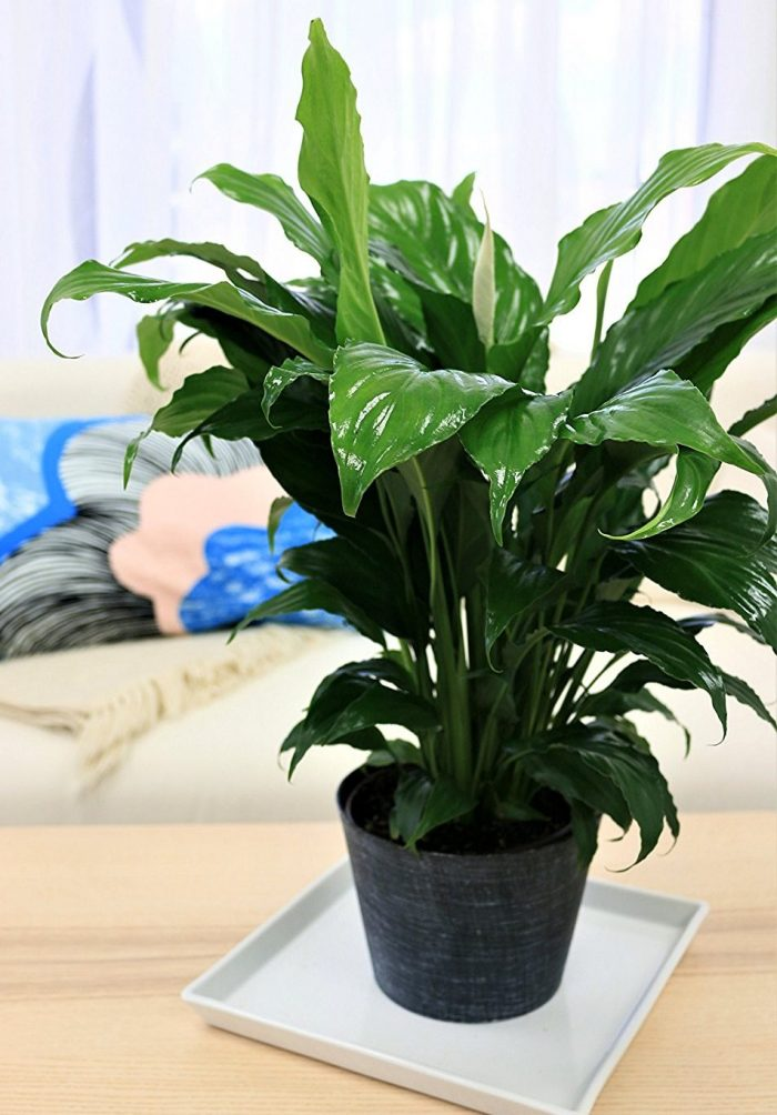 Spathiphyllum Peace Lily House Plant