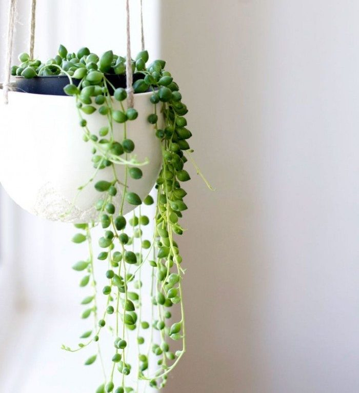 String Of Pearls House Plant