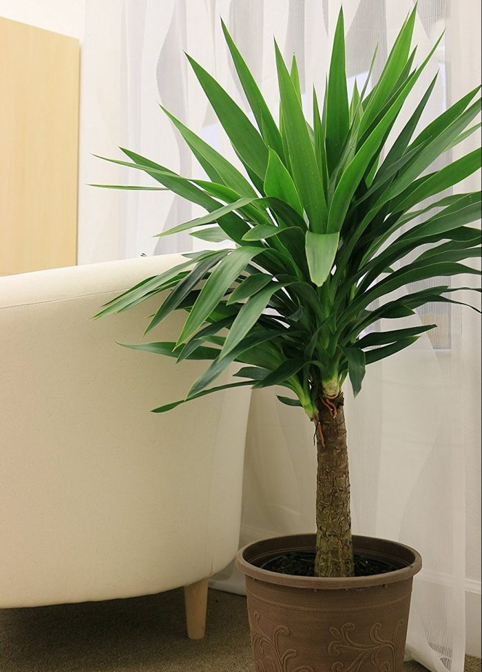 Yucca Cane House Plant
