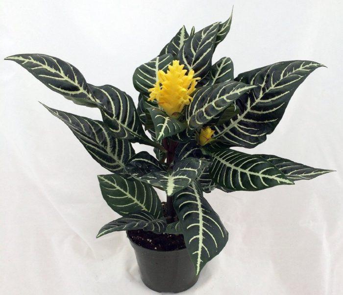 Zebra Plant Houseplant